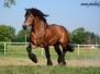 Mazowieckie konie zimnokrwiste - czerwiec 2015