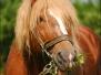 Mazowieckie konie zimnokrwiste